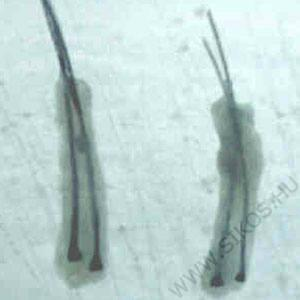 két hajszálas graftok
